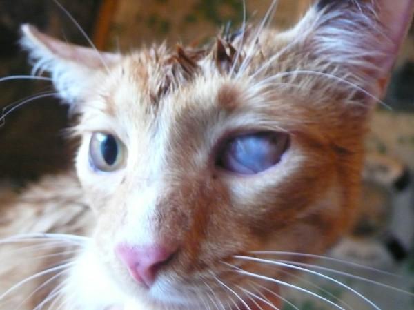 Бельмо на глазу у кота: причины и лечение